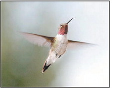 All About Ruby-Throated  Hummingbirds